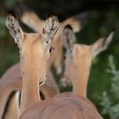 Impala, leaving but listening by Yves Roumazeilles