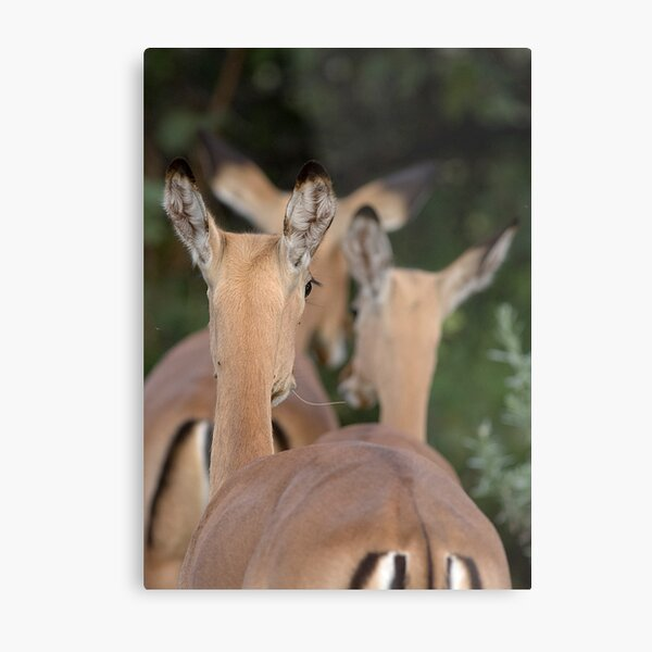 Impala, leaving but listening Metal Print