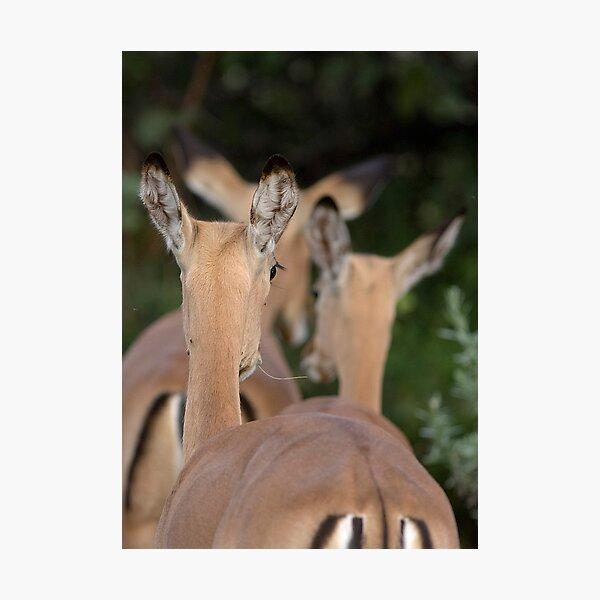 Impala, leaving but listening Photographic Print