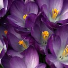 Morning Crocus by Kathilee