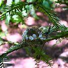 Allen's Hummer nest by flyfish70