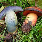 Boletus erythropus by MattRooney