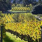 Holm Oak Vineyard by Mike Calder