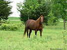 Beautiful Mare in the Wilderness by Barberelli