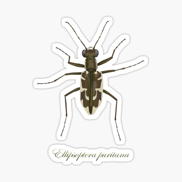 Puritan tiger beetle, Ellipsoptera puritana Sticker