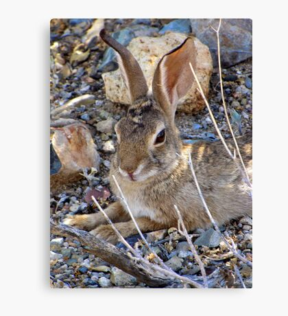 Desert Cottontail Canvas Print