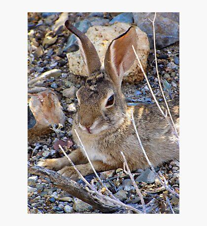 Desert Cottontail Photographic Print