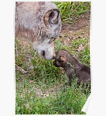 Timber Wolf And Pup Poster