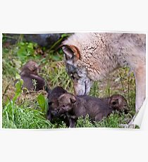 Timber Wolf And Pups Poster