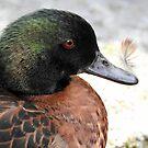 Feather on a duck's beak by Martina Nicolls