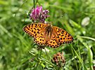 Dark Green Fritillary Butterfly by John Keates