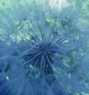 Dandelion delight by Photos - Pauline Wherrell