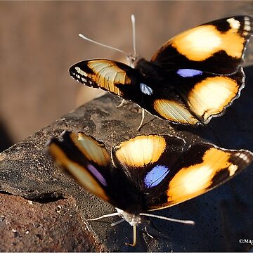 FEMALE YELLOW PANSY - Genus Junonia, Pansies  by mags