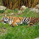 Tiger Nap time? by Sandra Chung