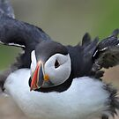 Puffin Flap by ApeArt
