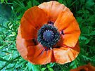 Poppy by Carol Bleasdale