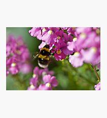 Garden bumble bee Photographic Print