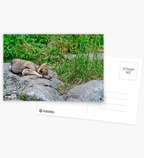 Timber Wolf Pup Postcards