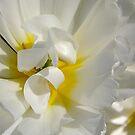 White tulip by Bluesrose