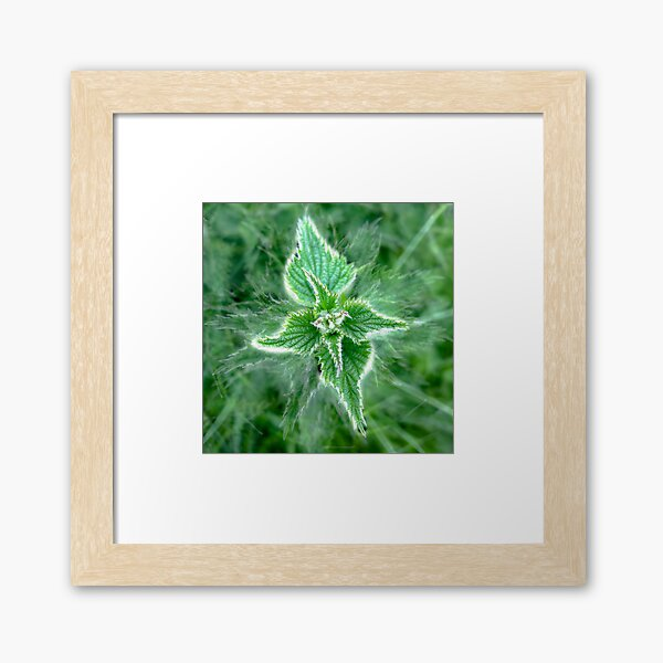 Natural Nettle Flora with Medicinal Herbal Properties Framed Art Print