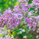 Spring lilacs by Svetlana Korneliuk