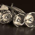 «Tres tulipanes en sepia» de Lynn Bolt