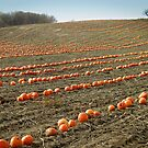 Pumpkin Patch by Stephen D. Miller