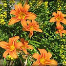 Orange Tiger Lilies by Debbie Robbins