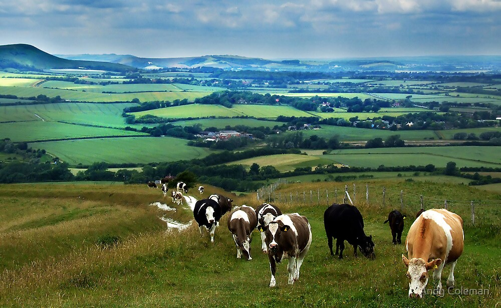 Cattle on the South Downs by Andy Coleman