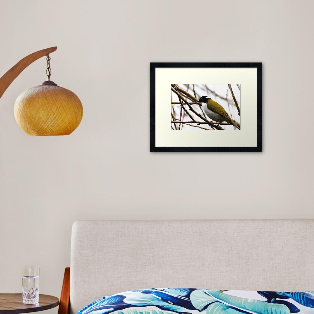 White-naped Honeyeater Framed Art Print