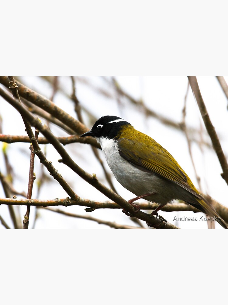 White-naped Honeyeater by mistered