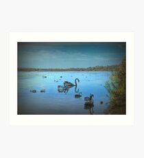 Black Swans at Lake Joondalup, Western Australia Art Print
