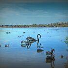 Schwarze Schwäne am Lake Joondalup, Western Australia von Elaine Teague