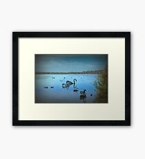 Black Swans at Lake Joondalup, Western Australia Framed Print