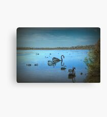 Black Swans at Lake Joondalup, Western Australia Canvas Print