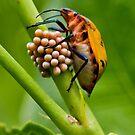 Harlequin Beetle by kwill
