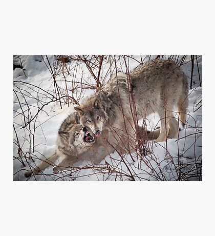 Timber Wolves Fighting Photographic Print