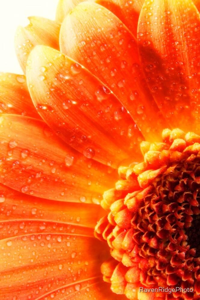 Gerbra Daisy by RavenRidgePhoto