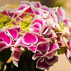 Rosa Hortensieblumen von jojobob