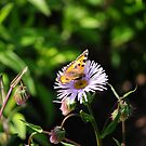 Butterfly On Flower by CjbPhotography