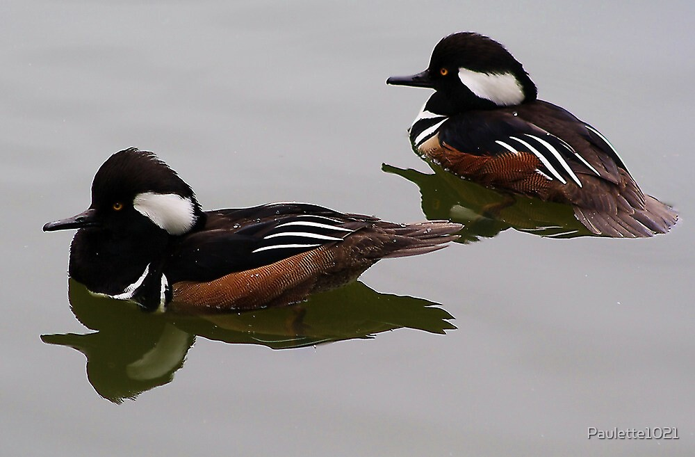 Hooded Merganser Duck Reflection by Paulette1021