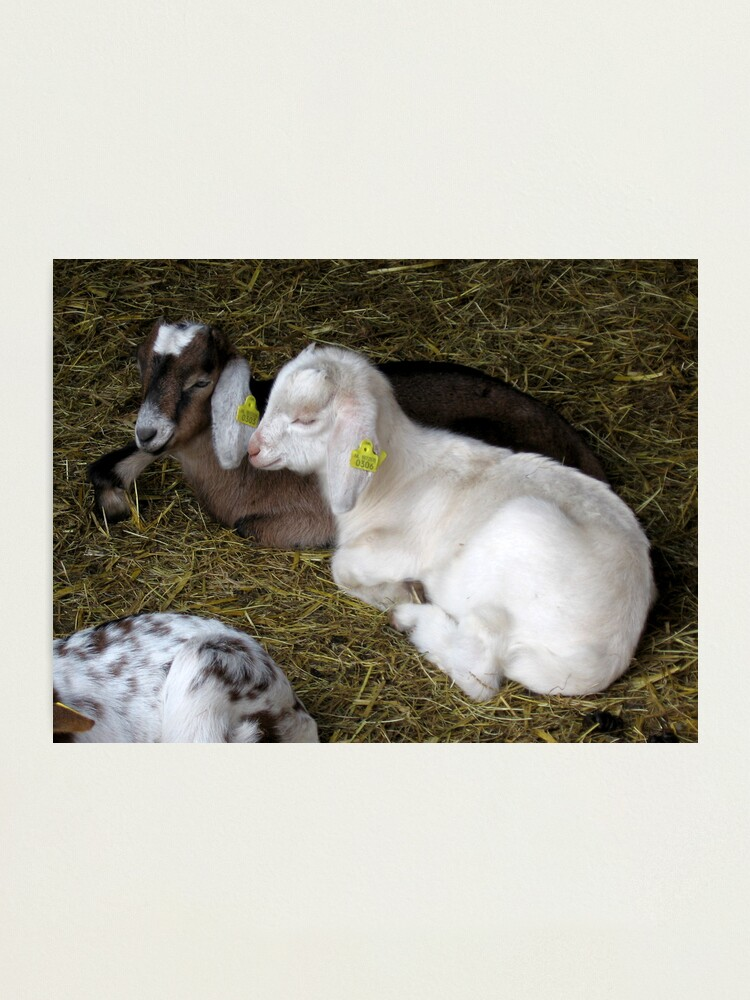 Alternate view of Two young goats Photographic Print