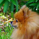 Pomeranian Profile by Sandra Moore