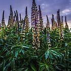 Lupine Delight von Charles & Patricia   Harkins ~ Picture Oregon