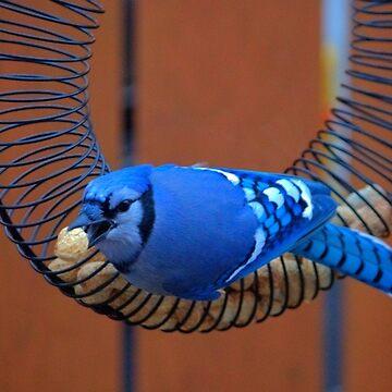BlueJay @ the Feeder by umpa1