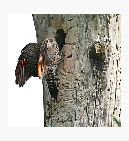Back at the Flicker Nest Photographic Print