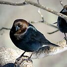 Brown-Headed Cowbird ~ Handsome Pest  by SummerJade