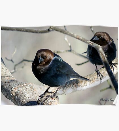 Brown-Headed Cowbird ~ Handsome Pest  Poster
