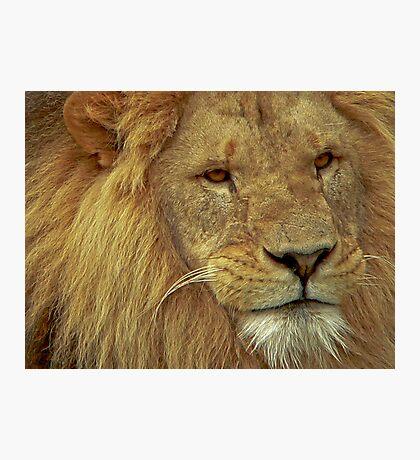 Lion IV Photographic Print