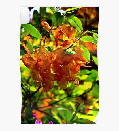 Orange Rhododendron Poster